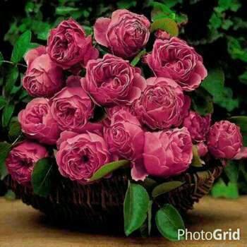 hamida548_Amanat Al 'Asimah_רווק_זכר