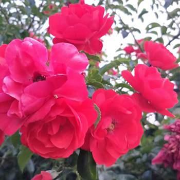 rose83659_Bay Of Plenty_Single_Female